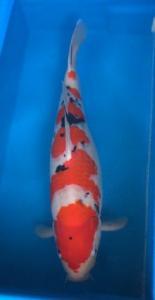 0840-nara n herly-herly koi-jkt-sanke-54cm-male