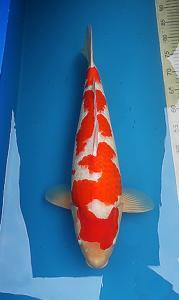 0778-kyudenkoi-kyudenkoi-kohaku-65 cm-female-jakarta-import