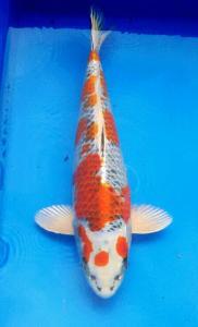 0768-kyudenkoi-kyudenkoi-hikarimoyomono-43 cm-female-jakarta-import.jpg