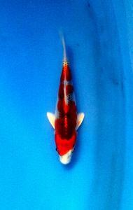 0084-Jimmy Nugroho -Sby-topkoifarm-sby-Hikari moyomono 14cm.