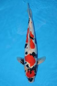 0173-ROYAL HOLLY WATER-KLATEN-RHW-DOITSHU-57CM-FEMALE