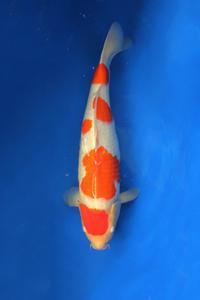 0629-Dogama Jnr-Nirwana Koi Jkt-Kohaku-54cm