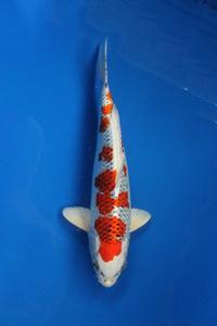 0675-Nirwana Koi Jkt-Hikari Moyomono-38cm