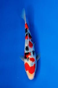 0691-Nirwana Koi Jkt-sanke-25cm