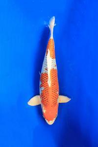 0681-Nirwana koi Jkt-hikarimoyomono-64cm (2)