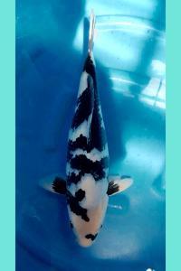 0233-h n v koi center-jakarta koi center-jogja-shiro-48cm