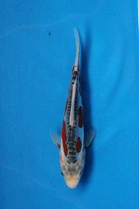 0705-Nirwana koi Jkt-Shusui-15cm