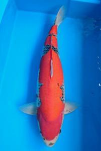 0279-Sophia Rose - Jakarta - Tomodachi - Goshiki - 64cm - Male - Import