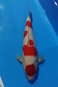 0176-ROYAL HOLLY WATER-KLATEN-RHW-KOHAKU-40CM-MALE