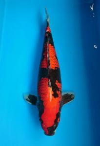 0267-Rasito - Jakarta - Tomodachi - Goshiki - 59cm - Female - Import