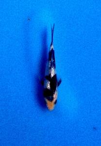 0094-Tripujayanto-jakarta-topkoifarm-sby-kinginrin B.12cm.