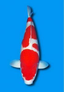 0308-Kohaku 85 cm