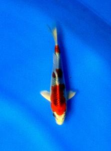 0081-Irwan -sby-topkoifarm-sby- hikari moyomono 17 cm.