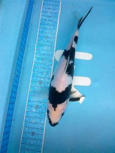 0159-suba- wahana-shiro-24cm-blitar