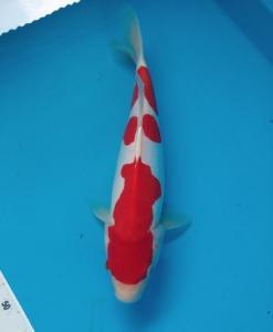 0868-Hapsaro koi-tangerang-plat ag-kediri-doitsu-33cm-female-lokal
