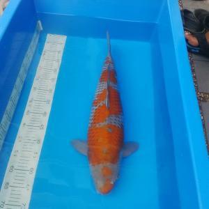 0773-kyudenkoi-kyudenkoi-kawarimono-60 cm-male-jakarta-import